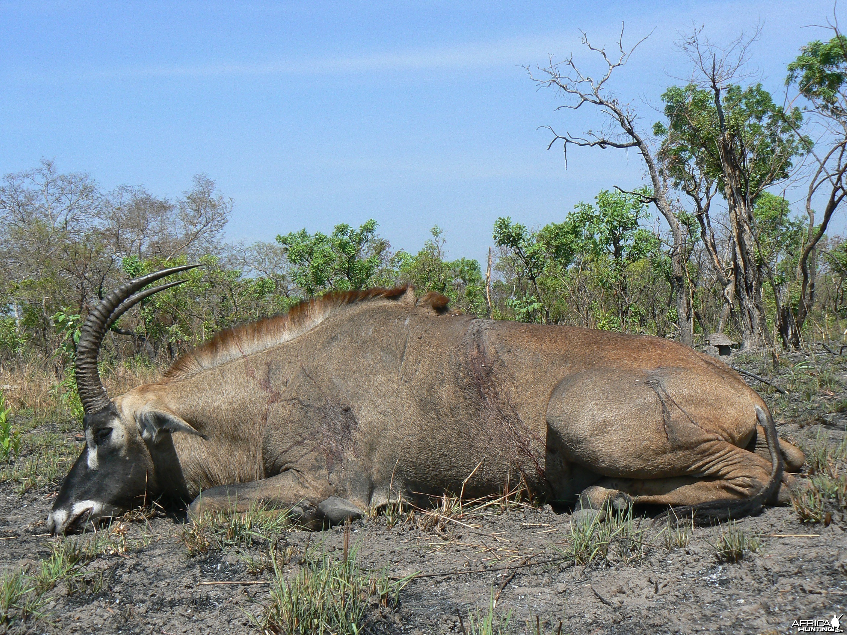 Very good 28 inches roan bull hunted in Central African Republic
