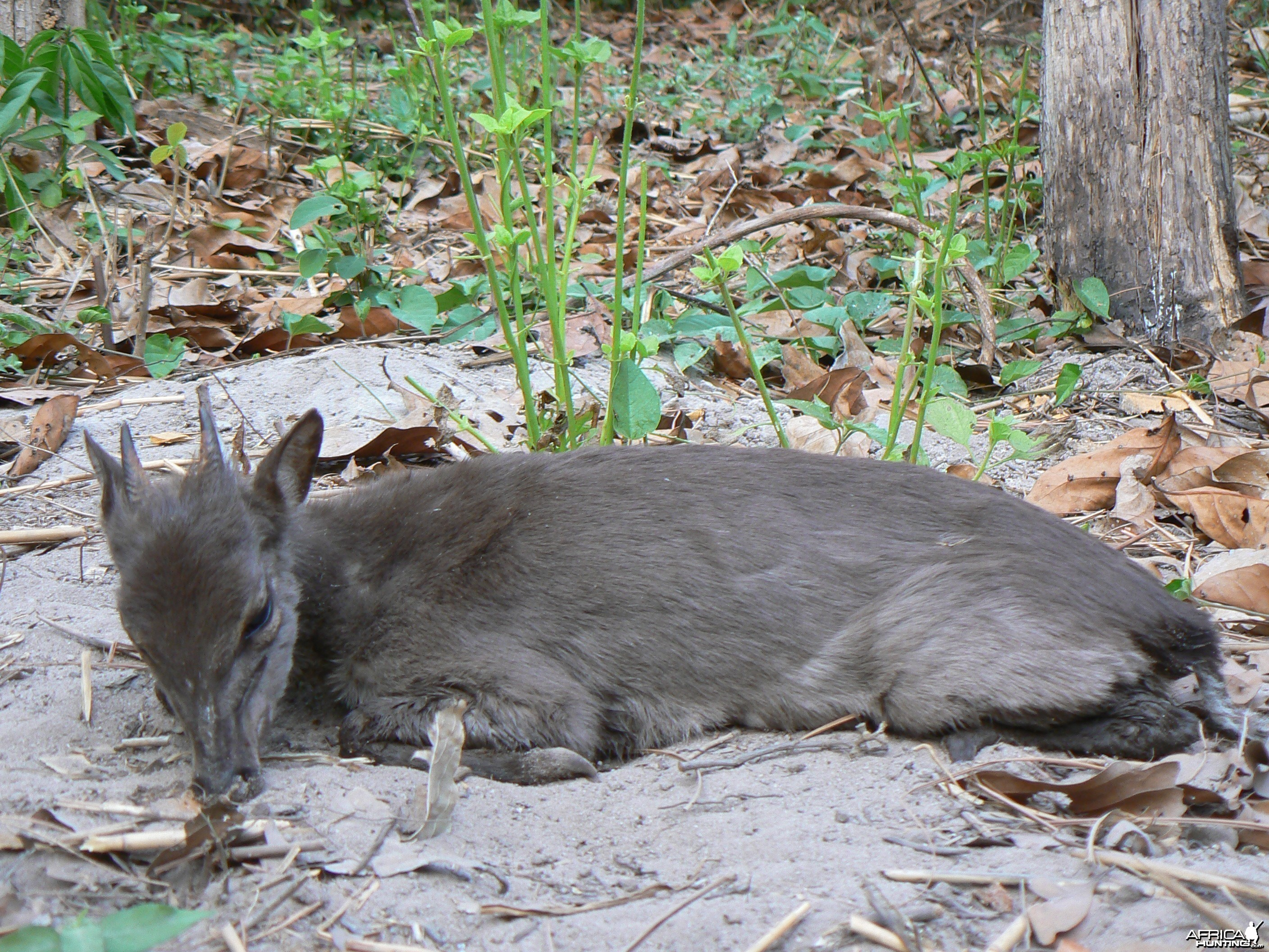 Blue duiker from CAR