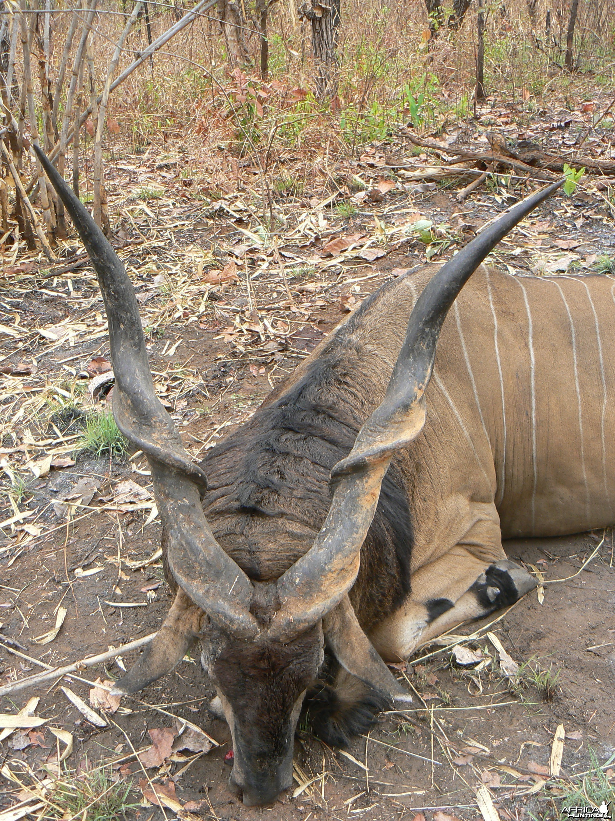 Big Eland bull from CAR, big neck, black hairs a truly great trophy