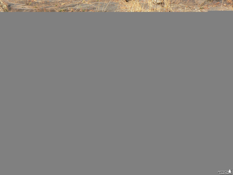 Huge 102 kg red river hog taken in CAR