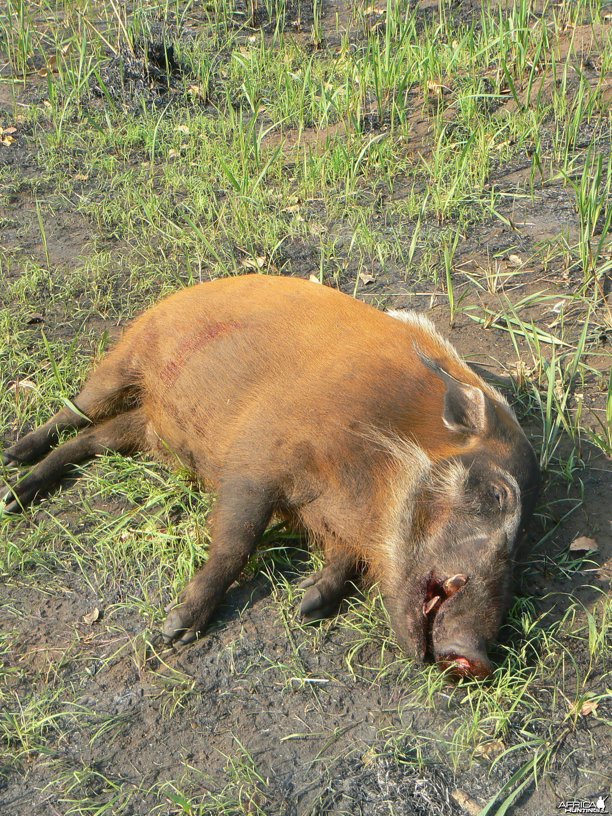 Huge 102 kg red river hog taken in CAR