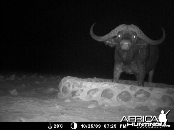 Cape Buffalo in Namibia Waterberg Plateau