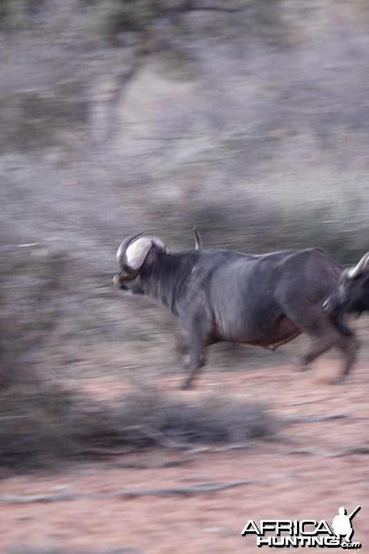 Cape Buffalo in Namibia Waterberg Plateau