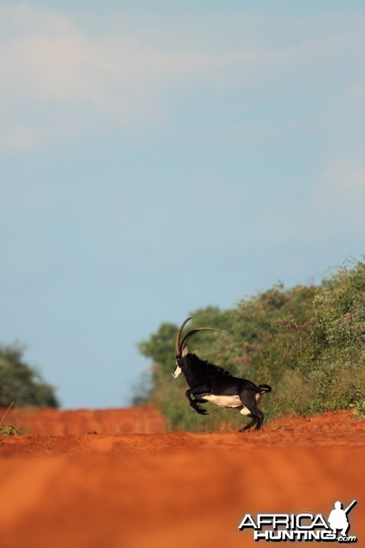 Sable in Namibia Waterberg Plateau