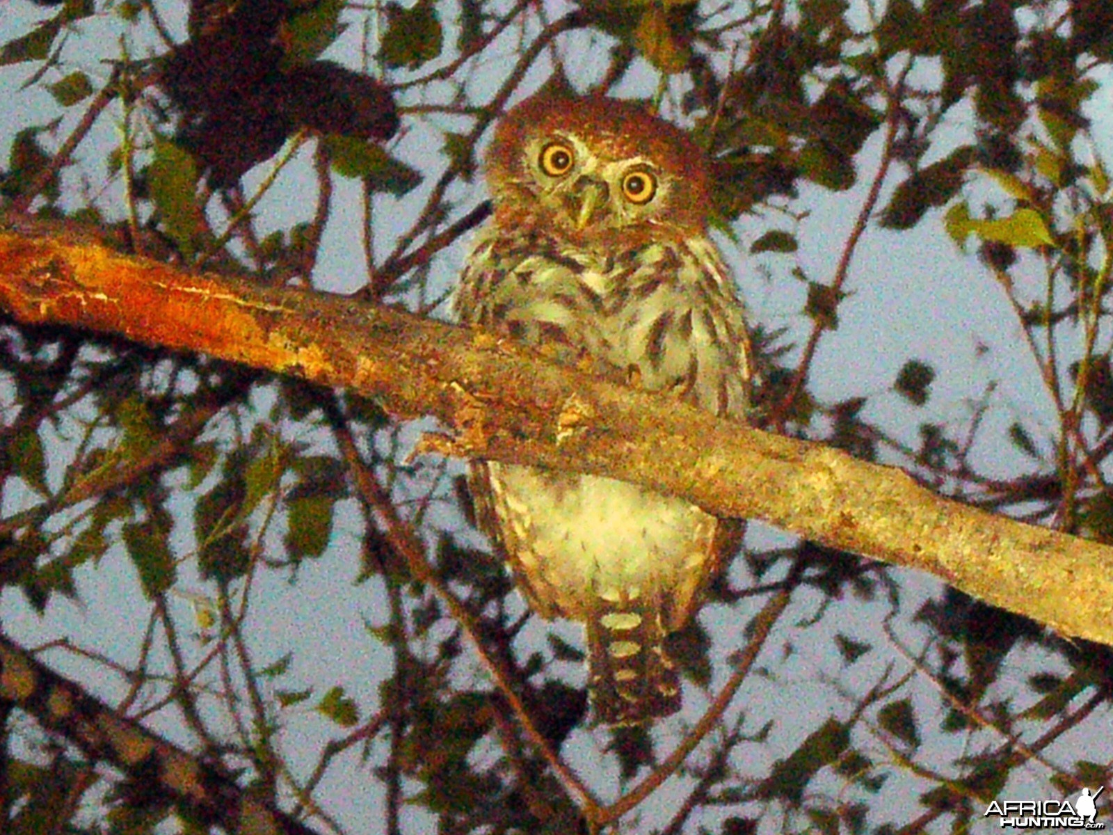Pearl Spotted Owl Namibia