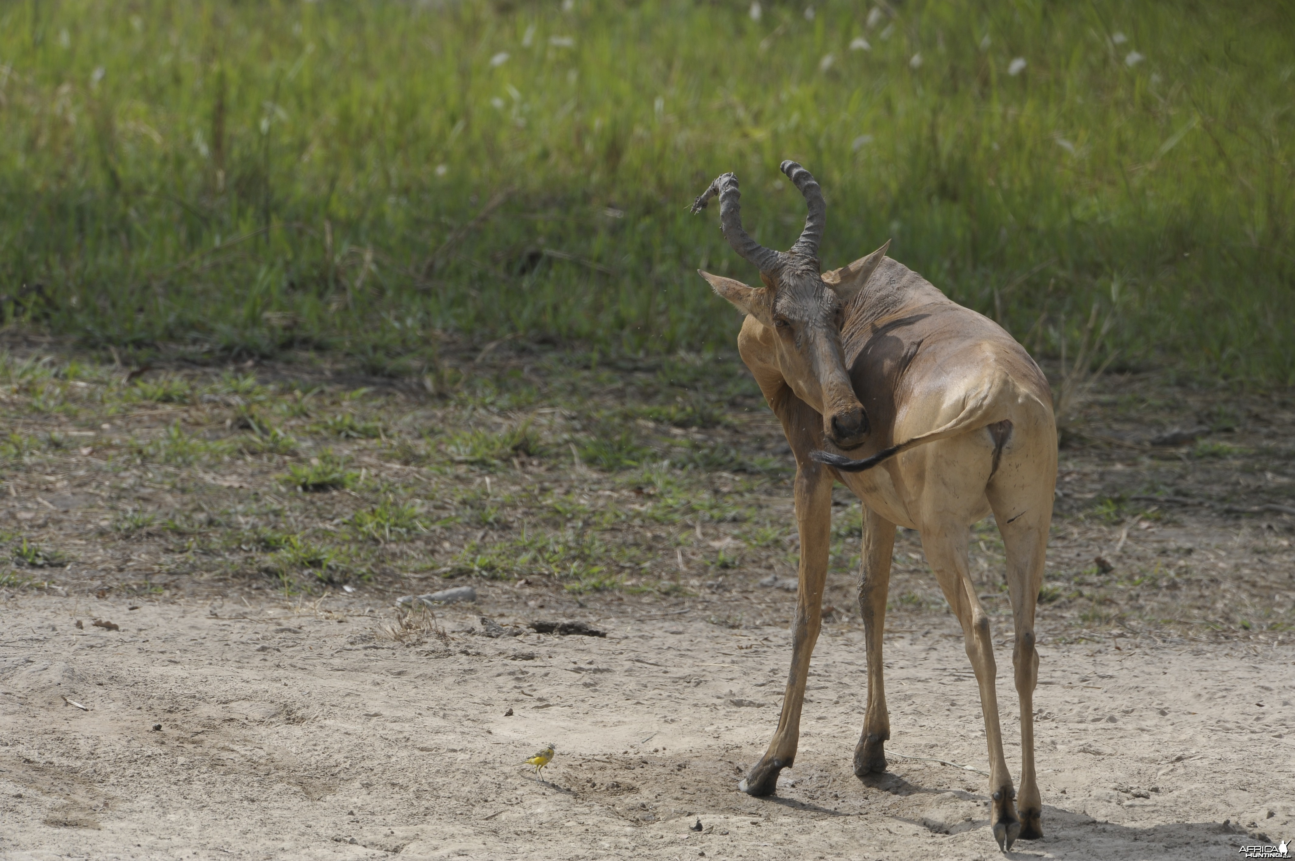Lelwel Hartebeest in Central African Republic