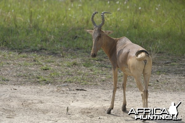 Lelwel Hartebeest in Central African Republic