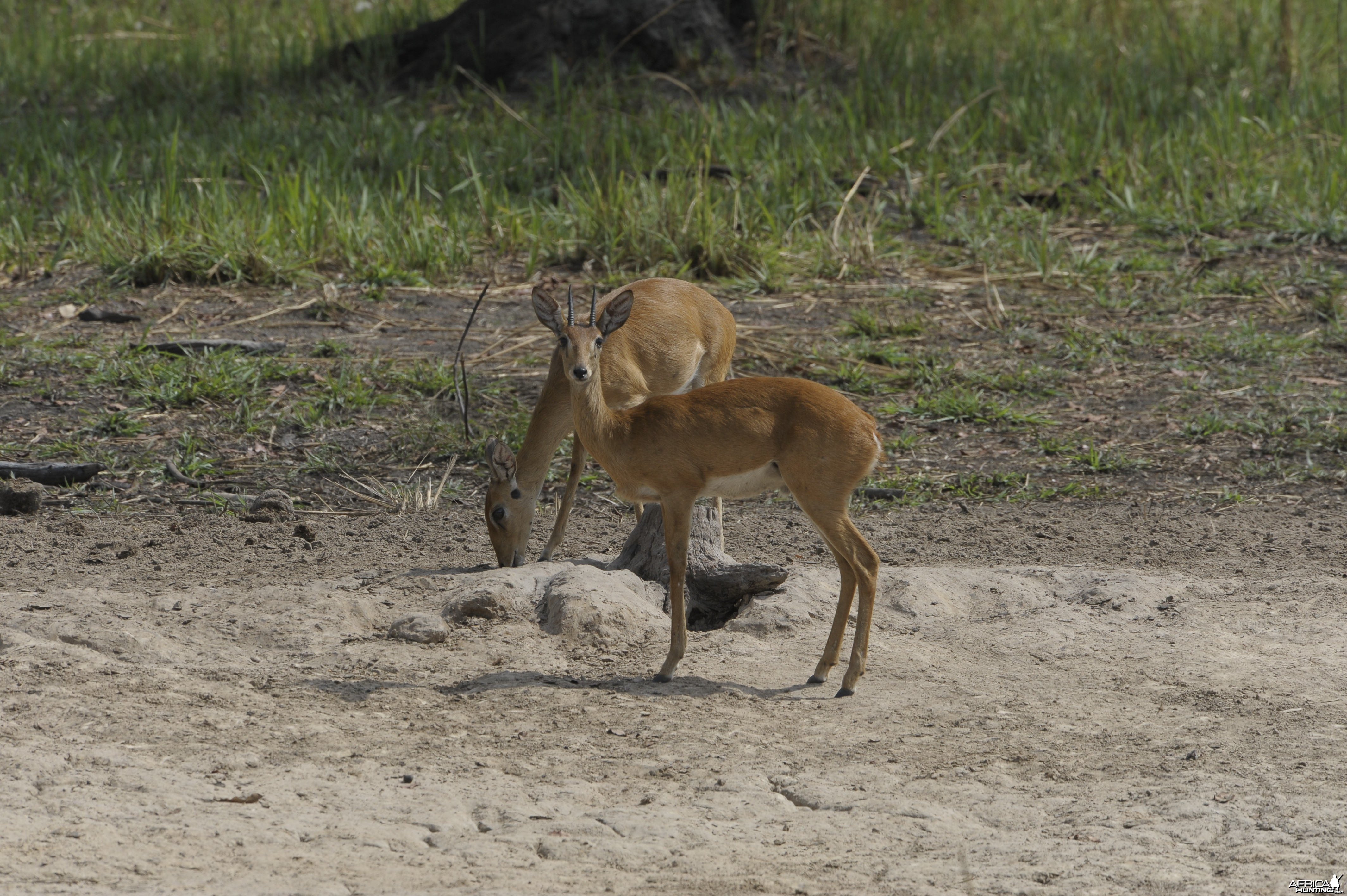 Oribi in Central African Republic