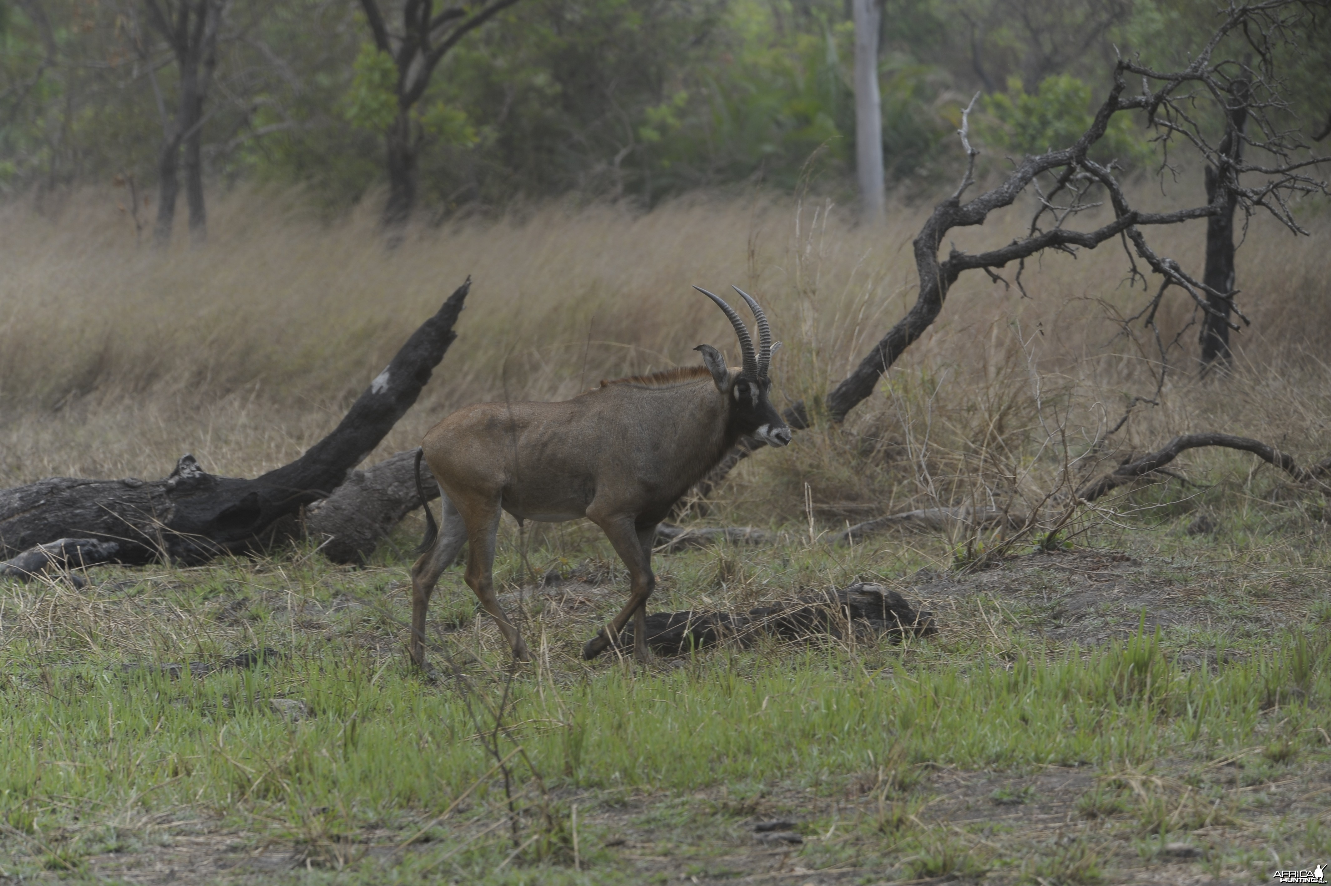Roan Antelope in Central African Republic