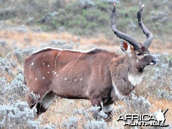 Mountain Nyala Bull Ethiopia