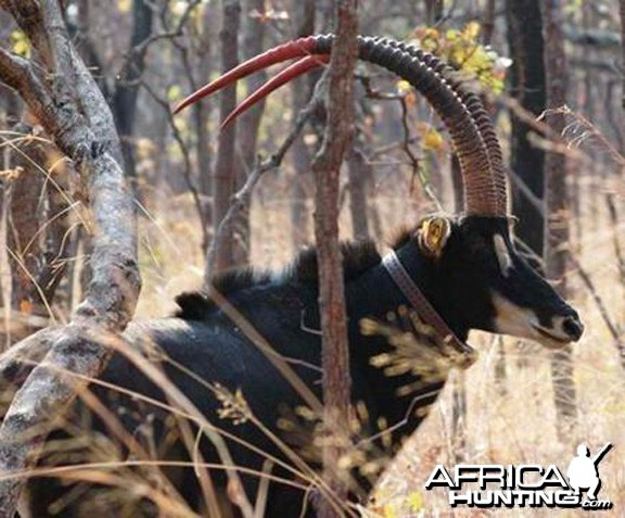 Bull from the 2009 Giant Sable Capture Operation Angola