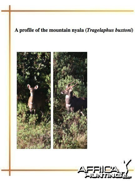 A Profile of The Mountain Nyala (Tragelaphus buxtoni)
