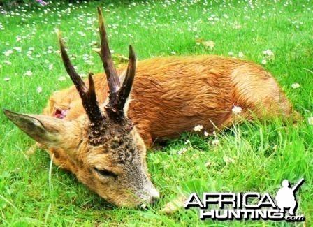 Hunting roe deer in France
