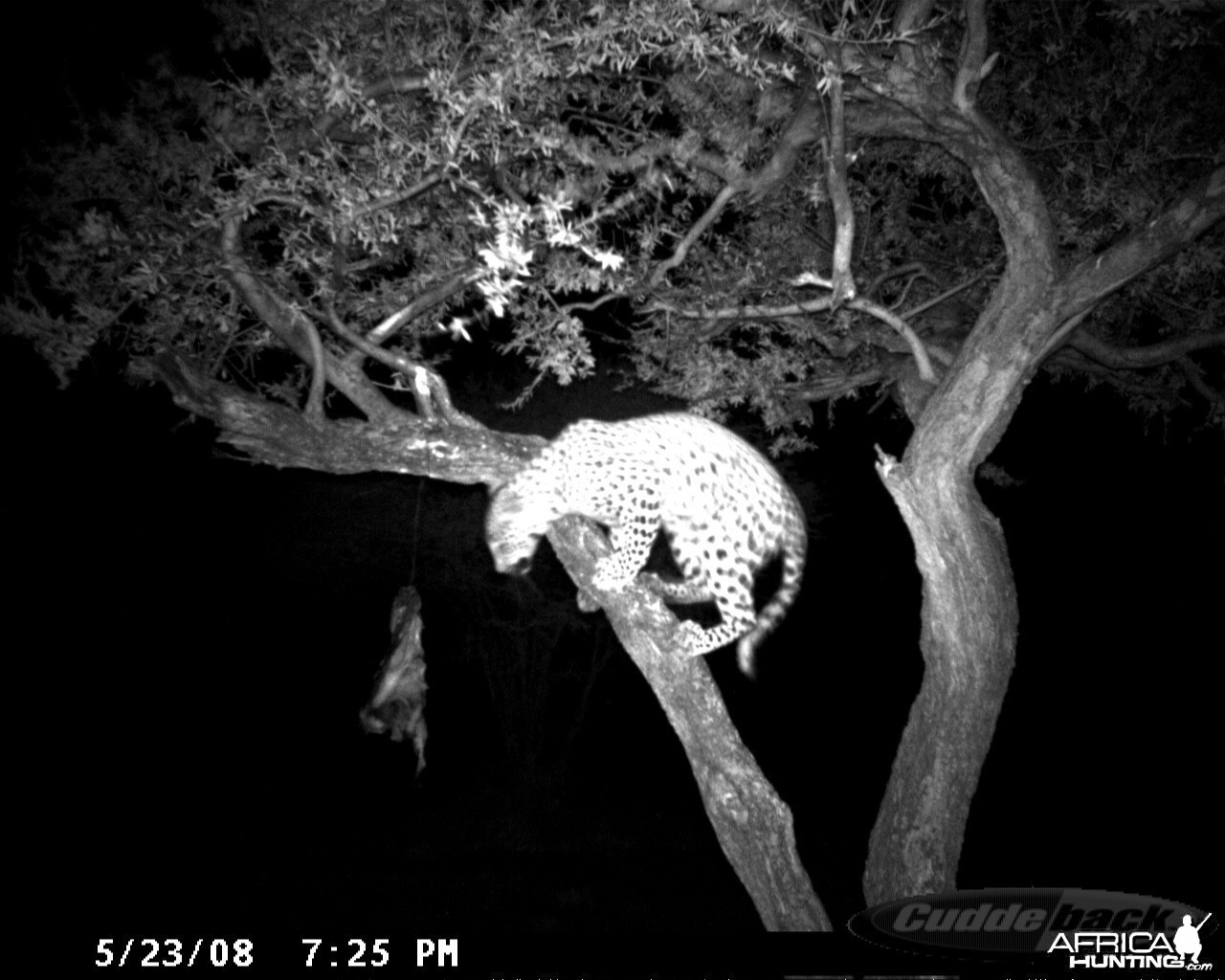 Hunting Leopard on Bait at Ozondjahe Safaris Namibia