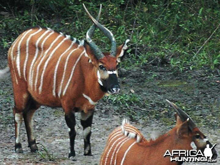 Bongo Central Africa