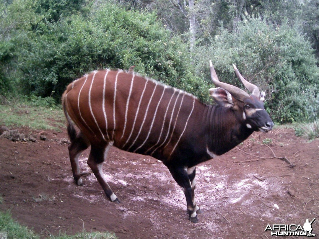 Mountain Bongo Kenya