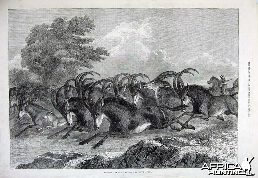 1871 Hunting Sable Antelope in South Africa