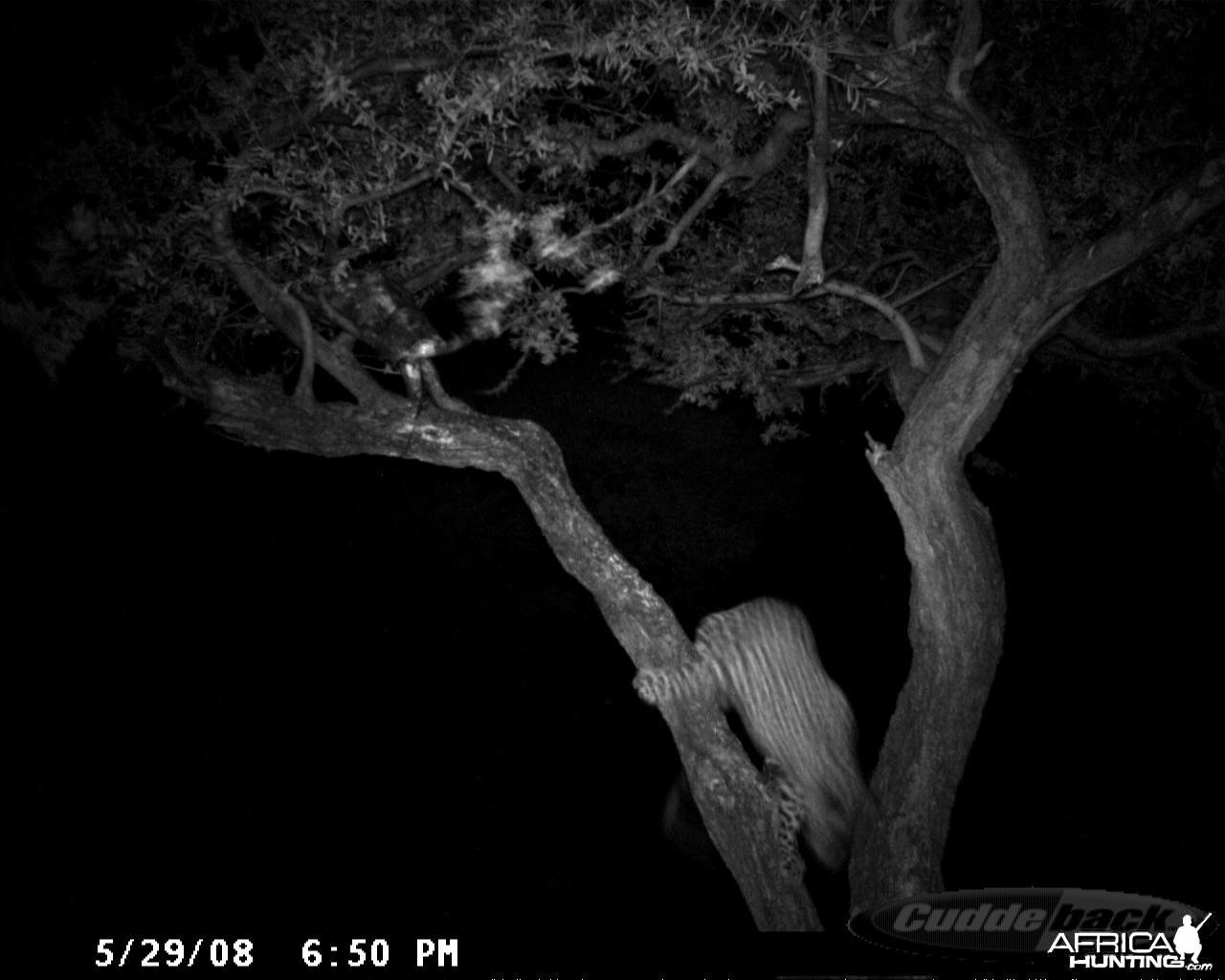 Hunting Leopard on Bait at Ozondjahe Safaris Namibia