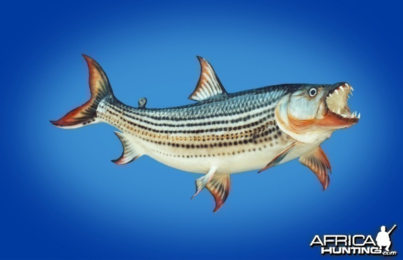 Tiger Fish taxidermy