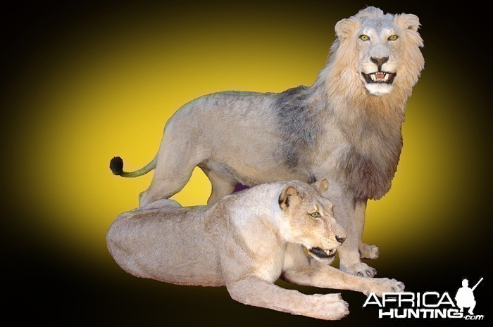 Lion and Lioness full mount taxidermy
