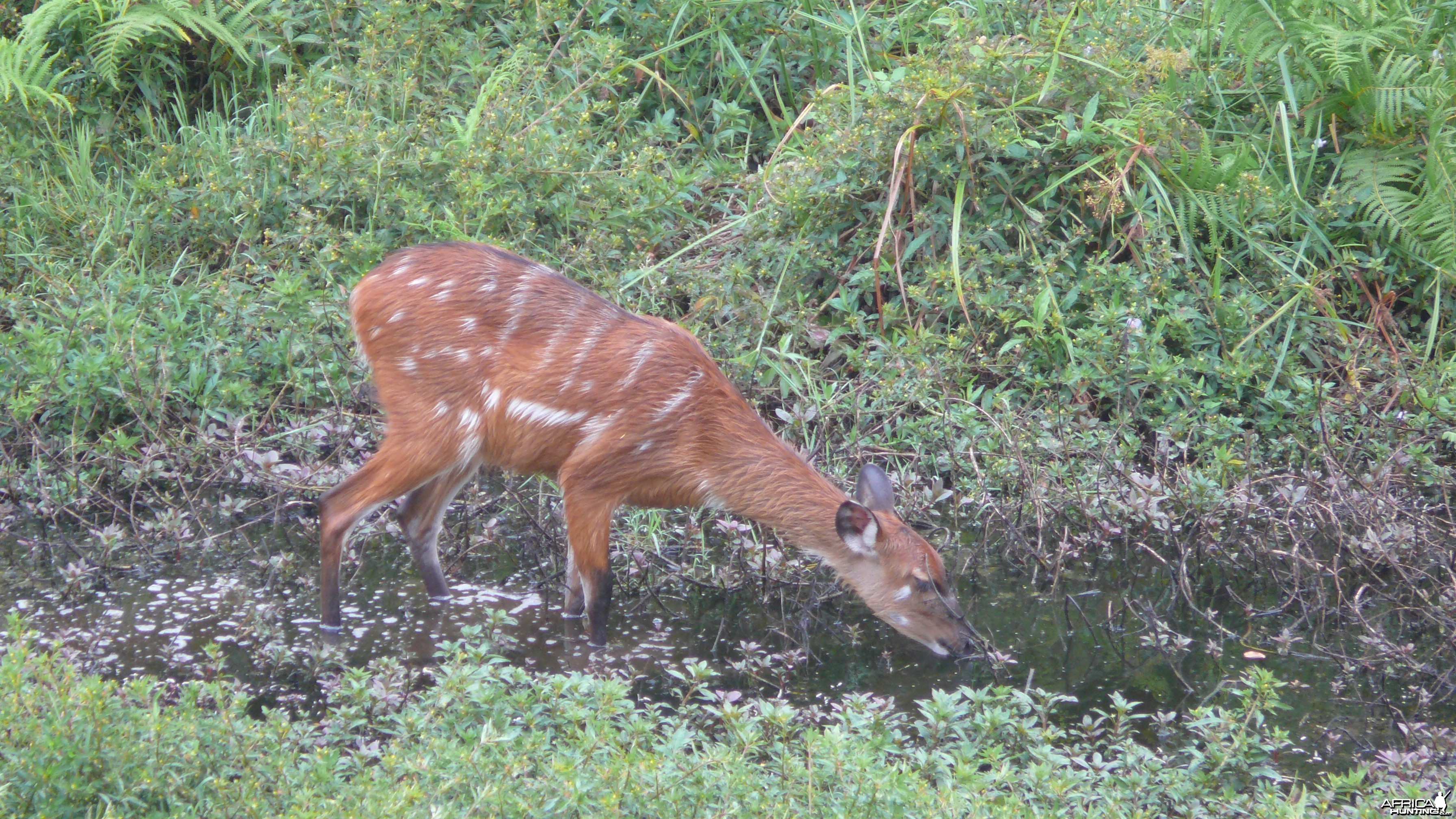 Harnessed Bushbuck in Central African Republic