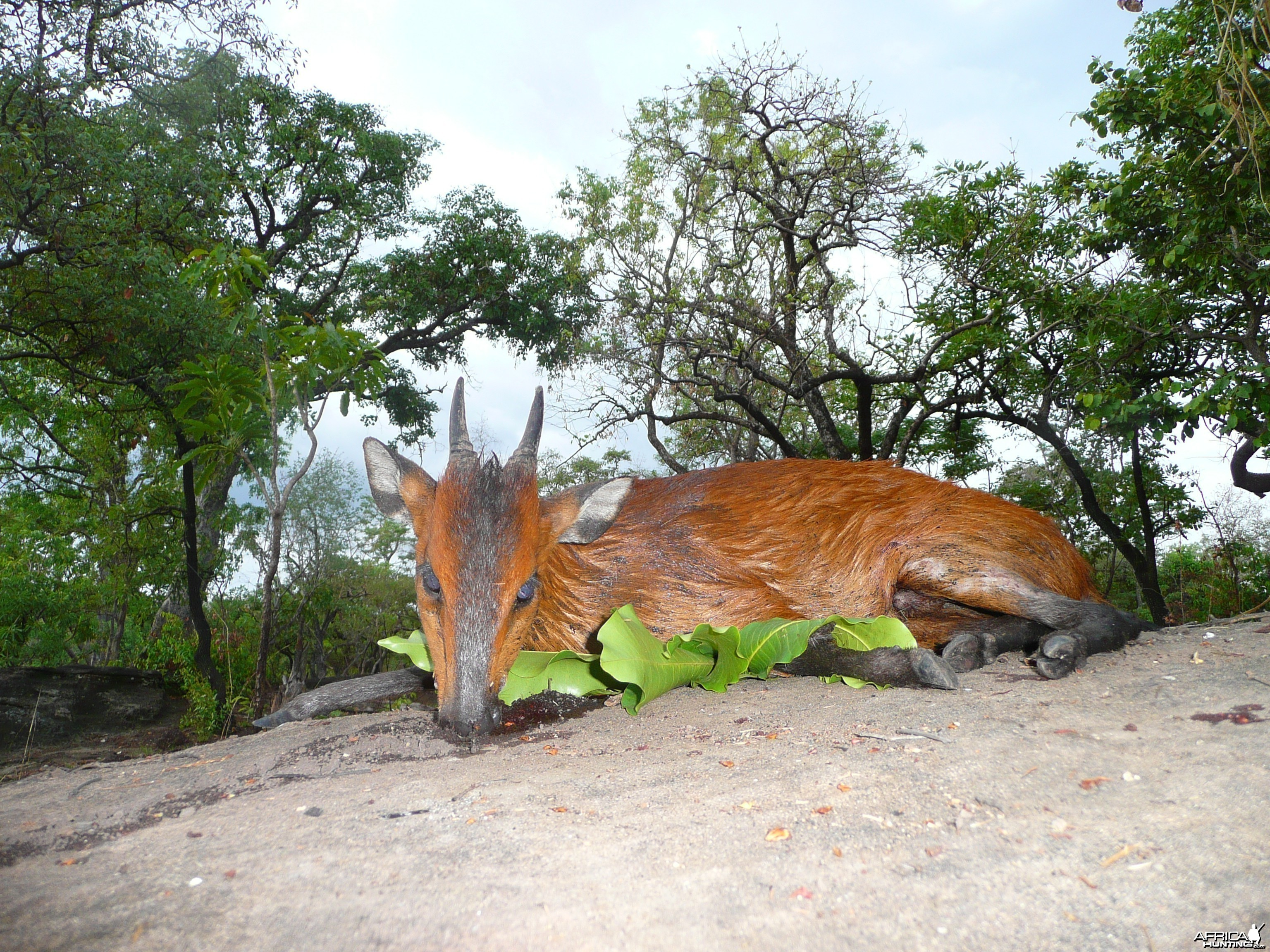 Red flanked duiker hunted in CAR