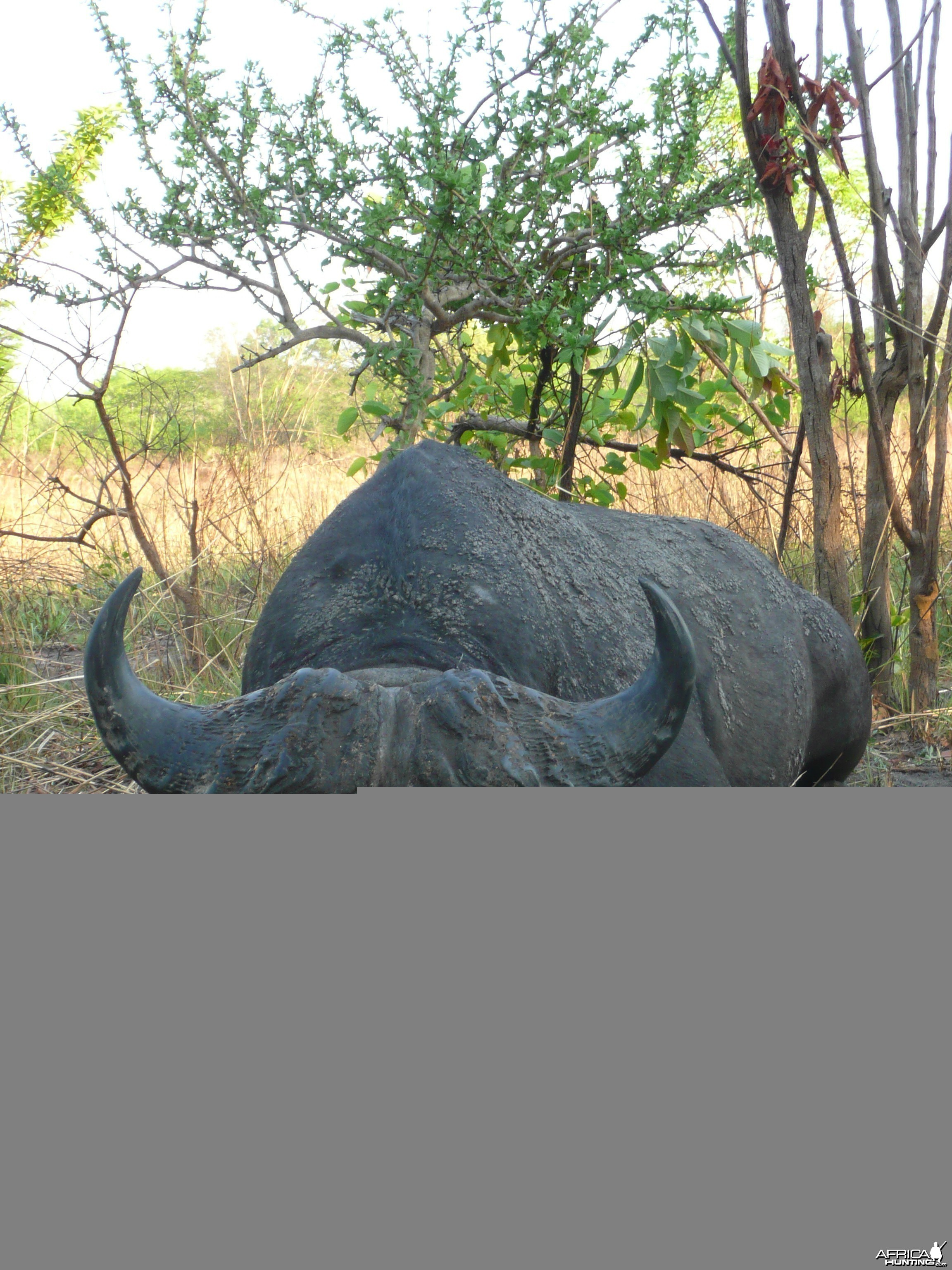 Black Buffalo bull hunted in CAR