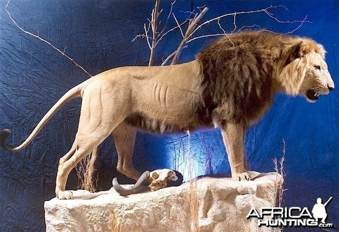 Barbary Lion Mount