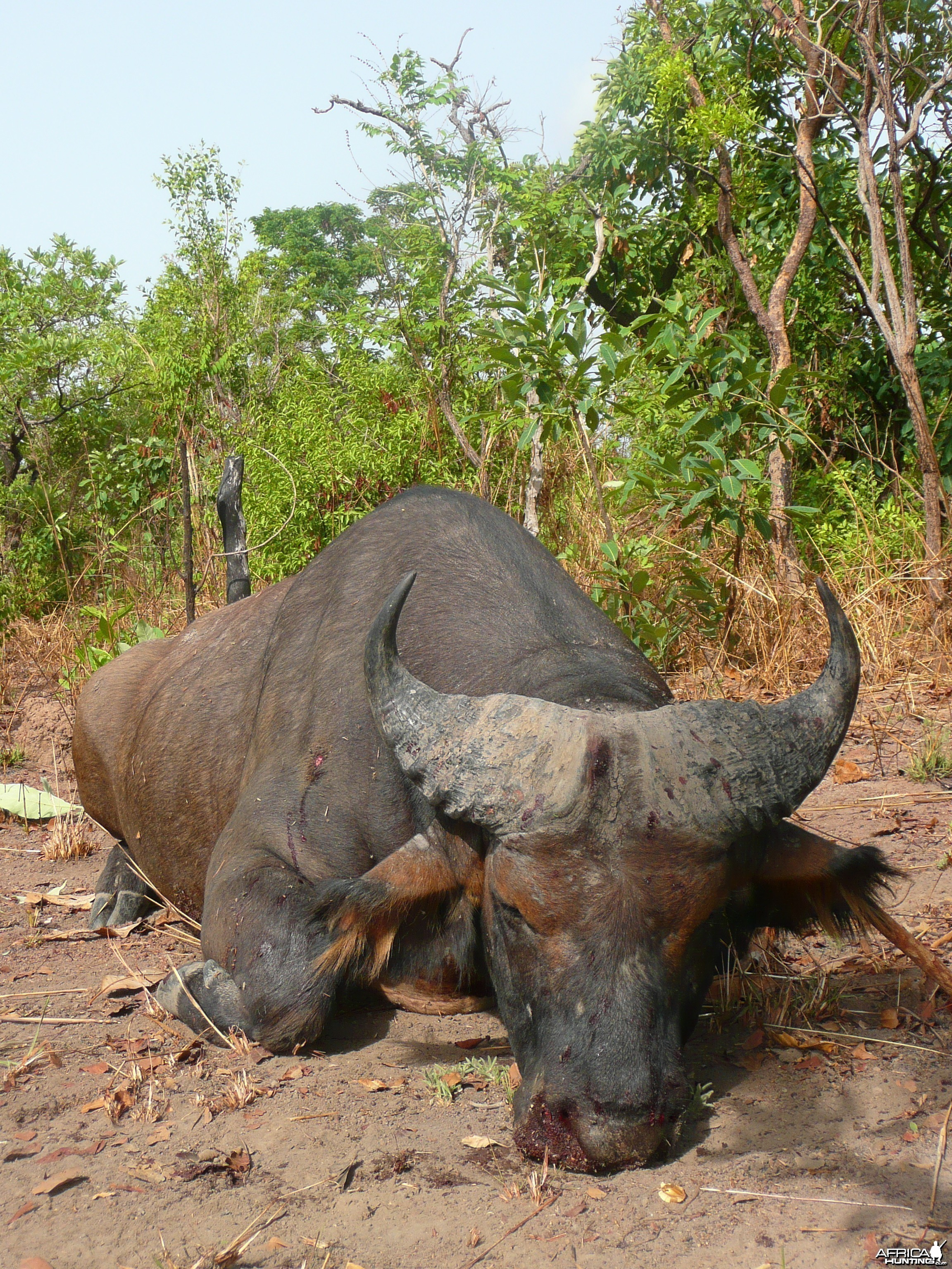 Red Buffalo bull from CAR