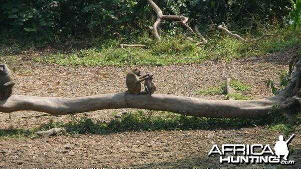 Doguera baboon in CAR