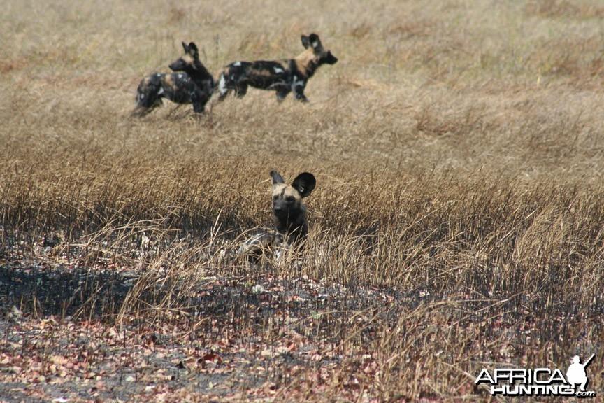 Wild dogs Tanzania