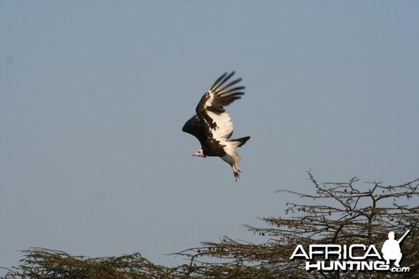 Fish Eagle Luganzo Tanzania