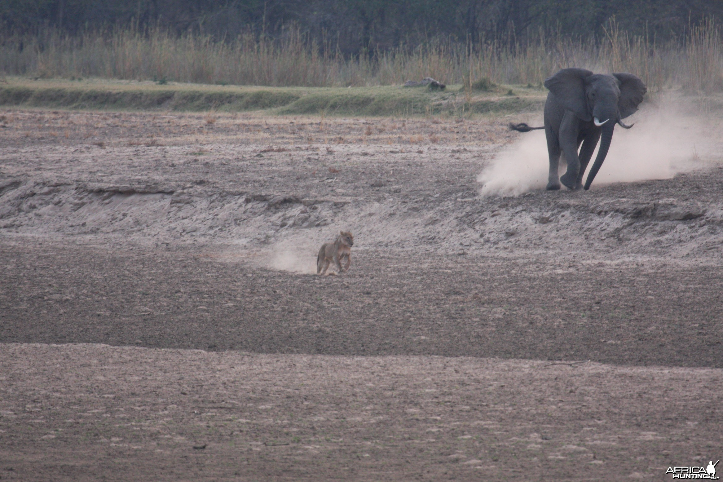 Ele chasing lions in Tanzania