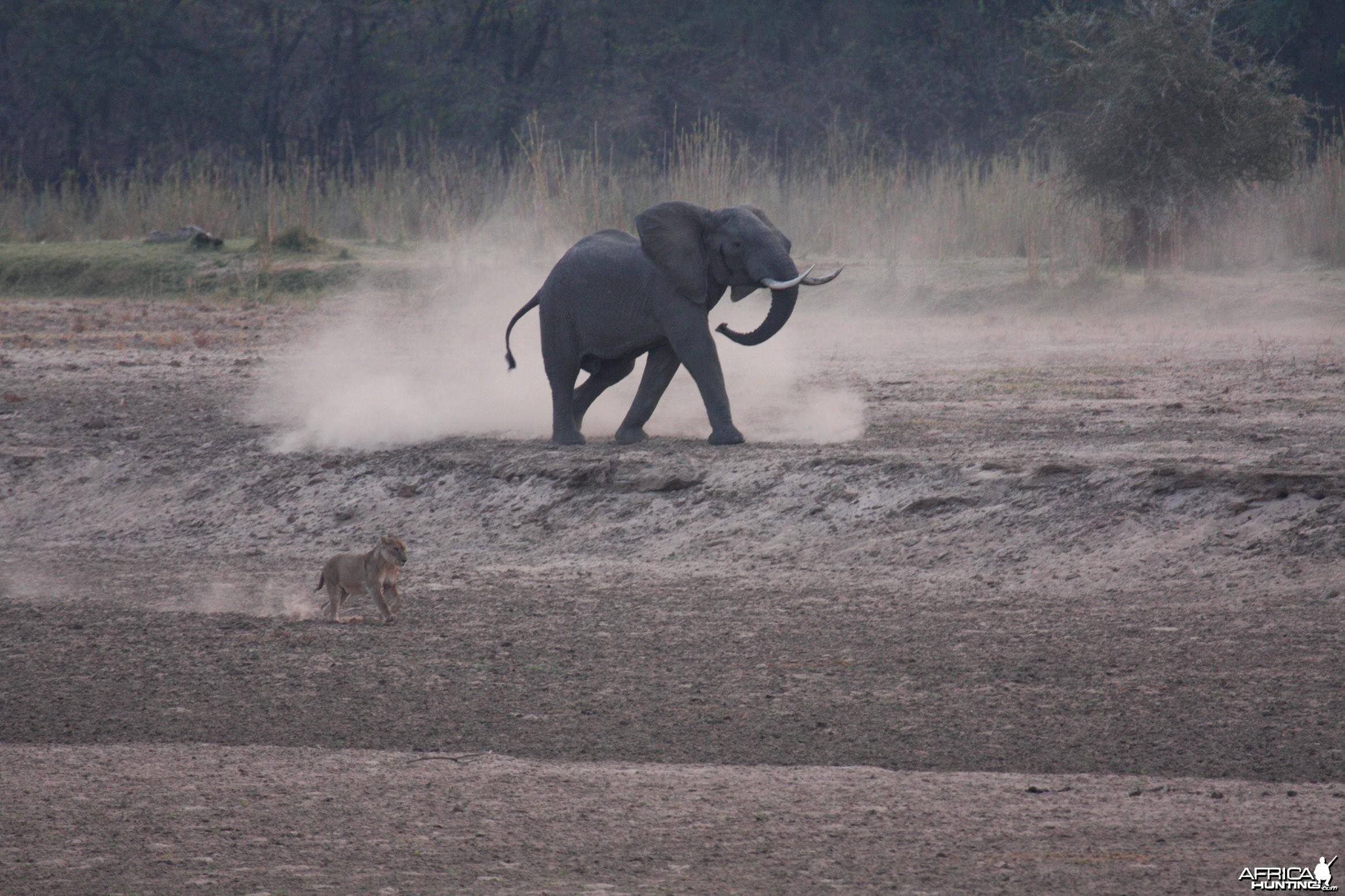 Ele chasing Lions 2
