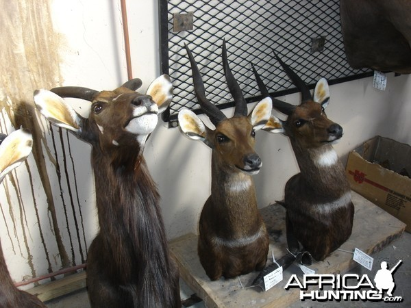 Some 2008 Trophies at Taxidermist