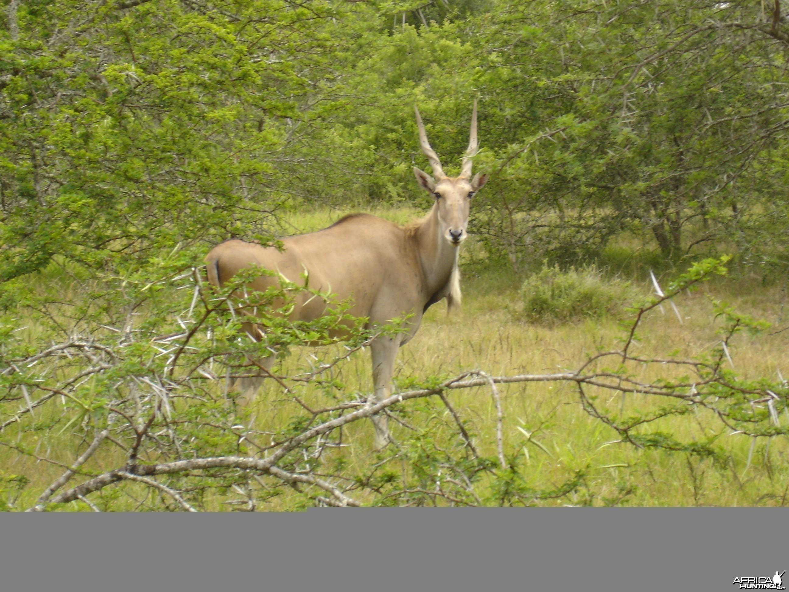 Young Eland Bull