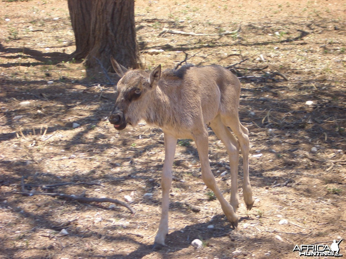 Namibia - Baby Wildebeest