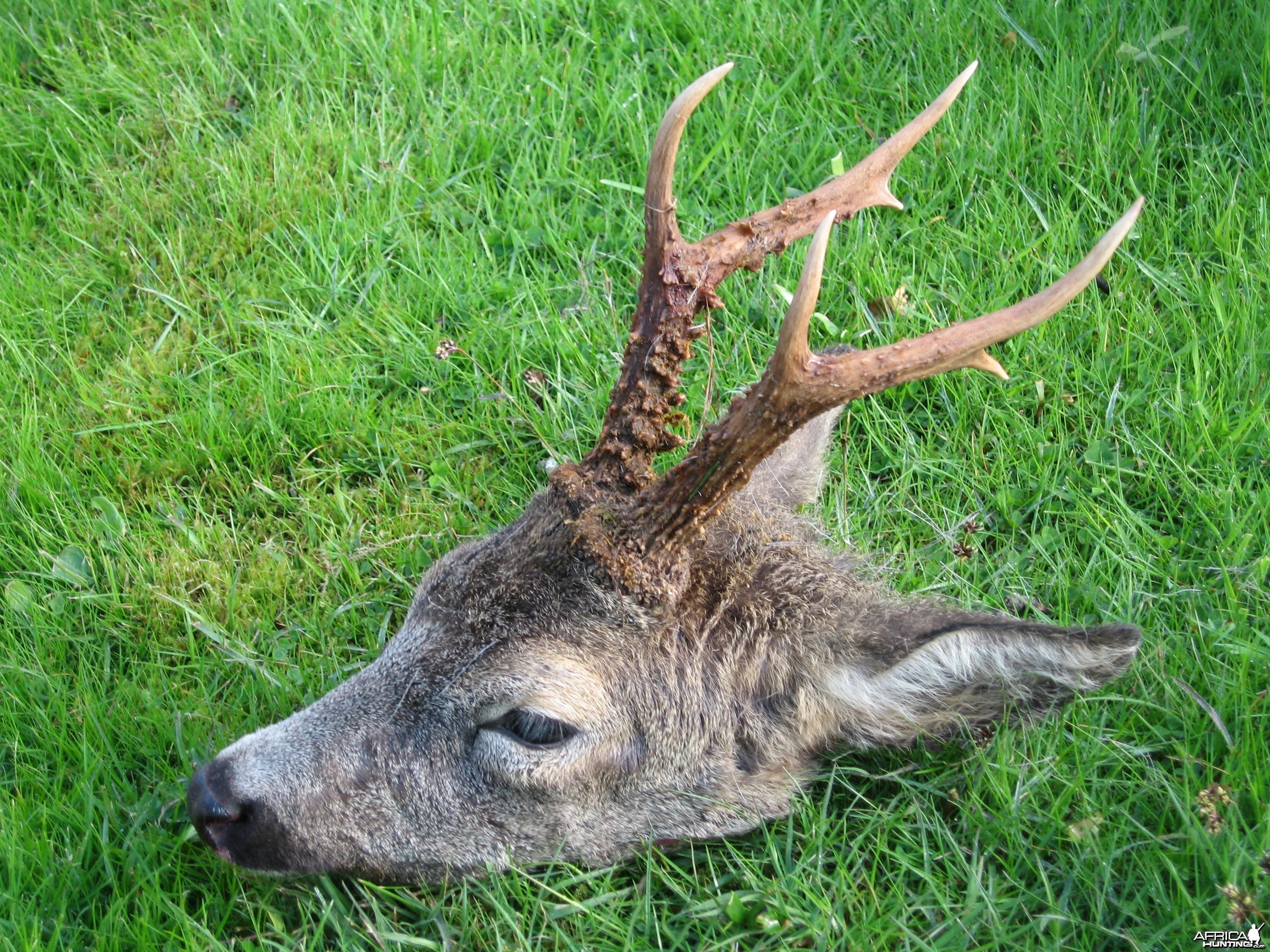 Little Aberdeenshire Roebuck