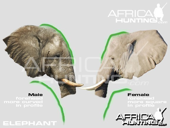 Male and Females African Elephants