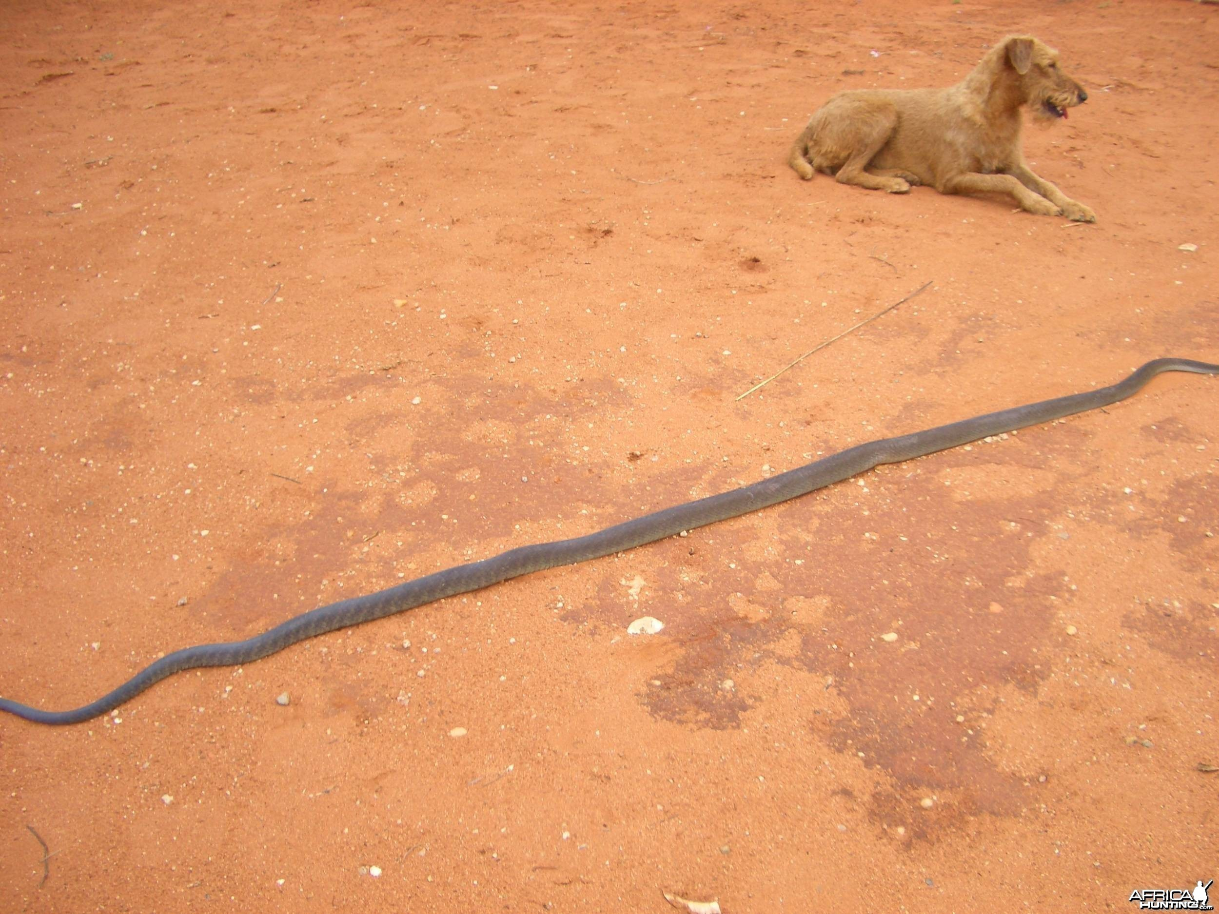 Namibia Otjiwarongo Black mamba