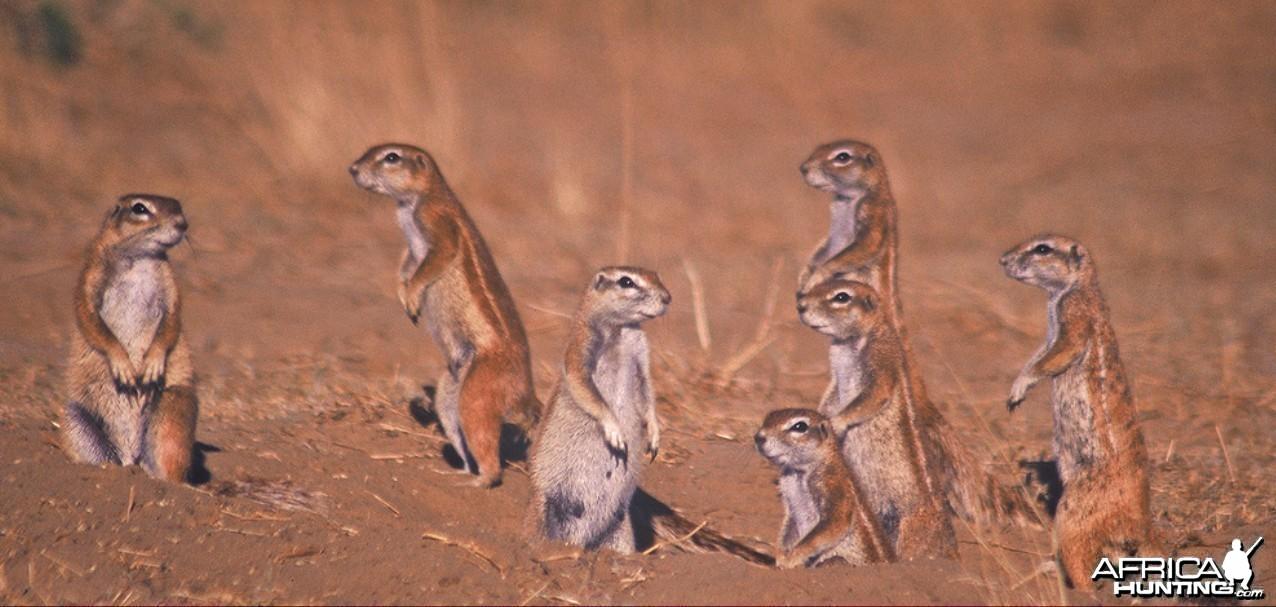 Namibia Erdm�nnchen
