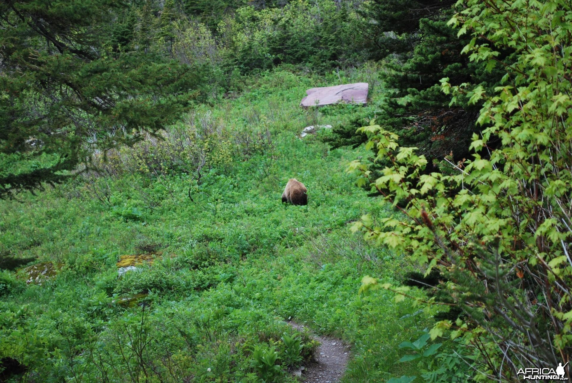 Grizzly at Glacier National Park
