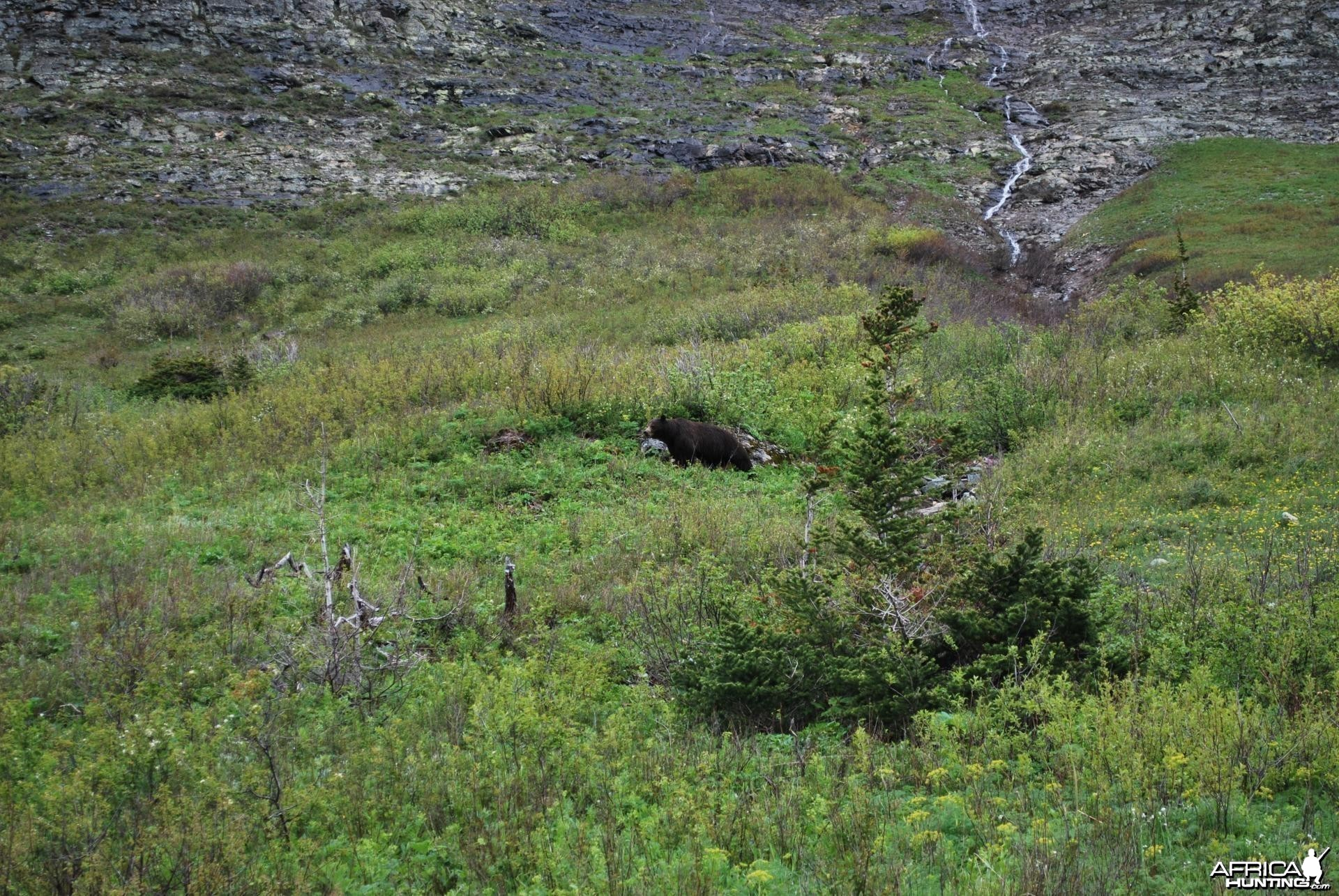Black Bear at Glacier National Park