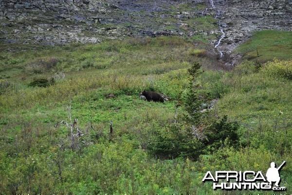 Black Bear at Glacier National Park