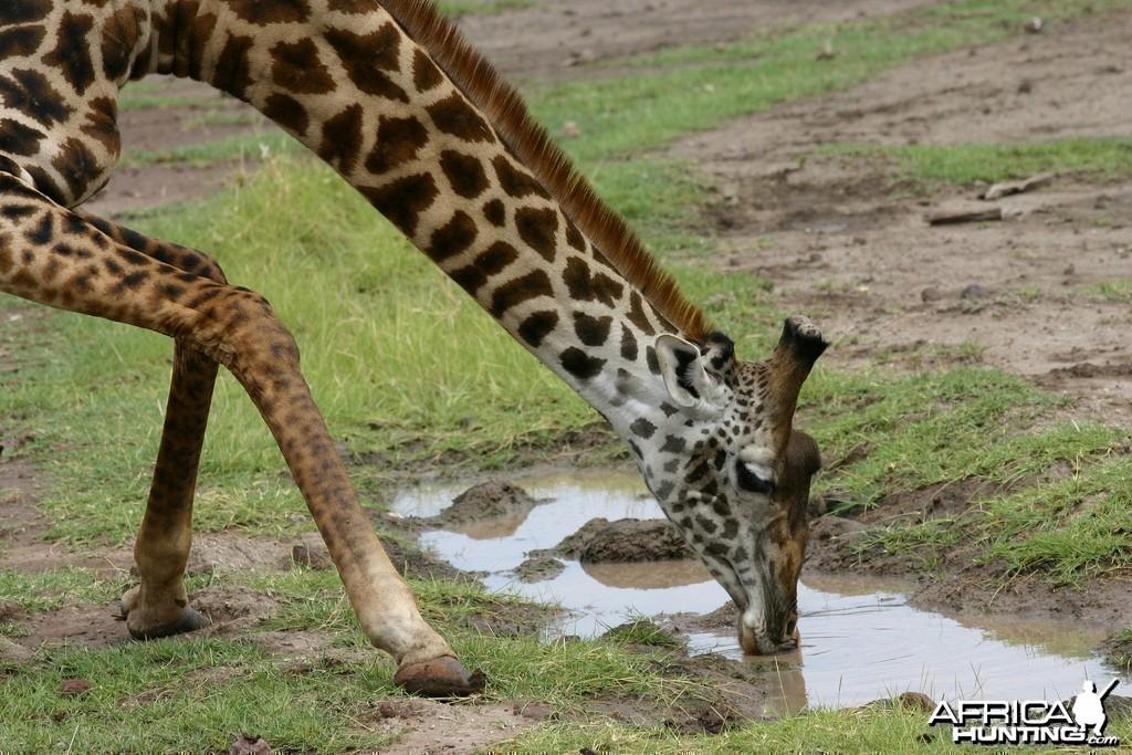 Africa Namibia Giraffe Drinking