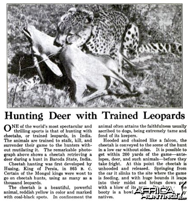 Hunting Deer with Trained Leopards