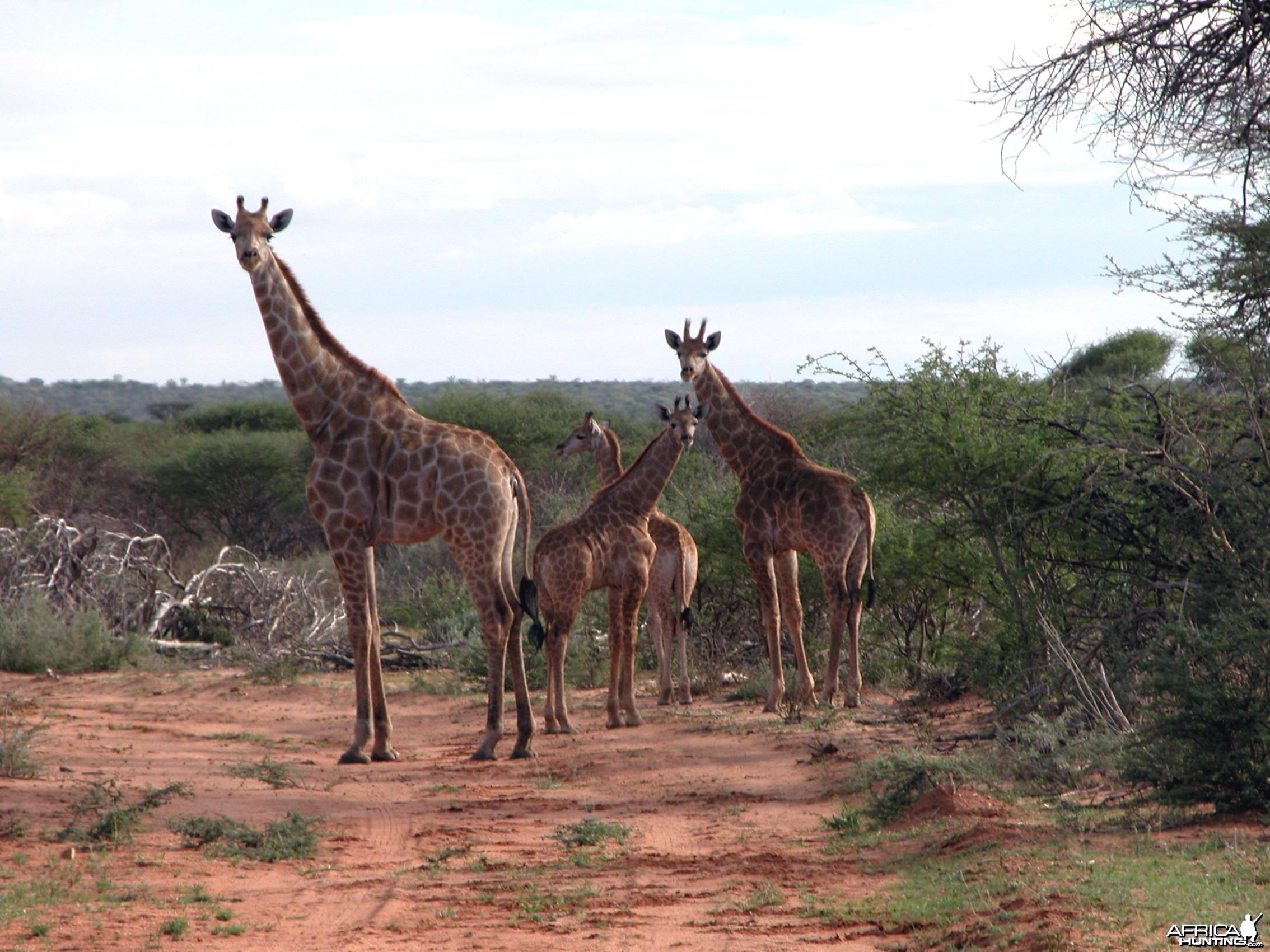 Africa Namibia Family Giraffe