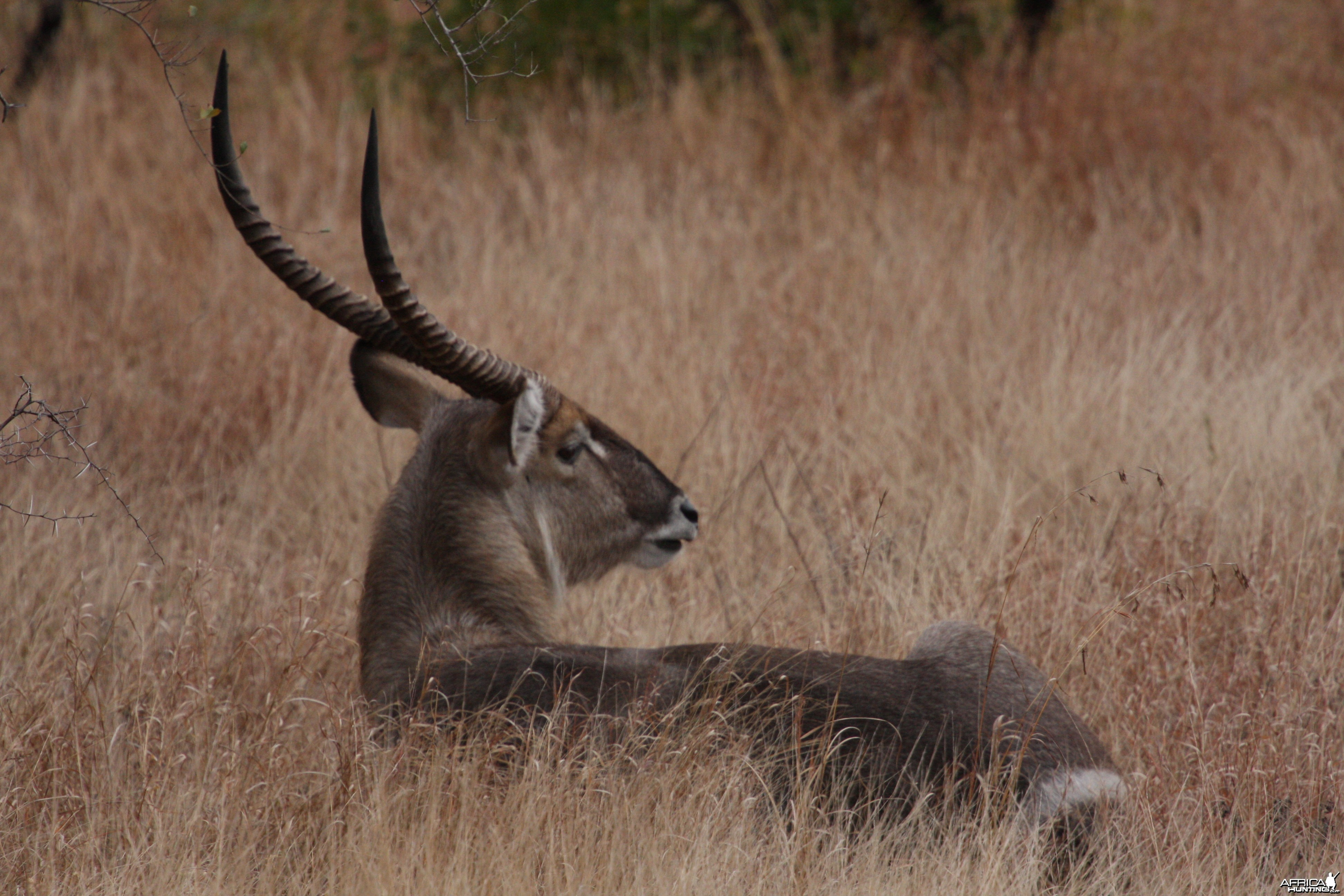 Relaxing Waterbuck