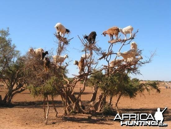 Namibian Goat in Tree