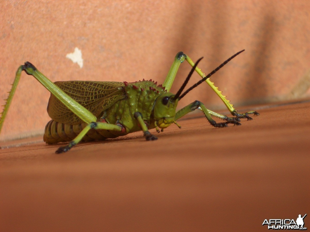 Nmaibia Grasshopper